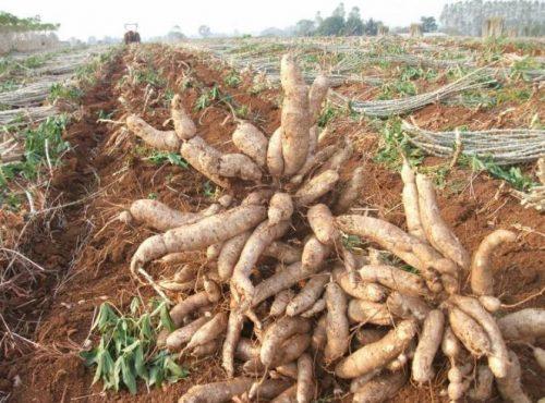 cassava-yield-500x370